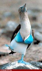 booby-bird-bra.jpg