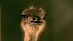 flying_ostrich.jpg