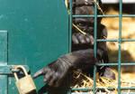 gorilla-in-cage.jpg