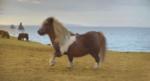 three_shetland_pony.png