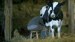 zippo_cow.jpg